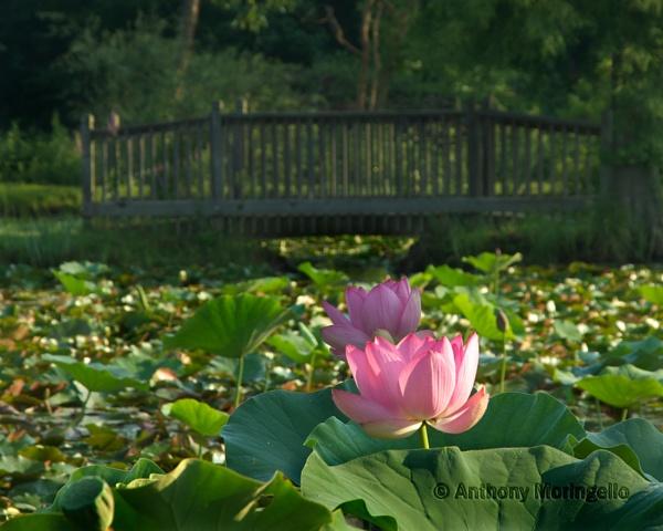 Lily under the bridge by AnthonyM