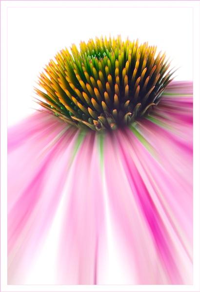echinacea by hayleyk