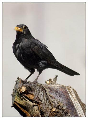 Blackbird by AnthonyR