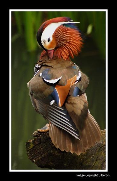 Mandarin Duck by EPZSam