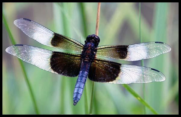 widow skimmer? by bdettmer
