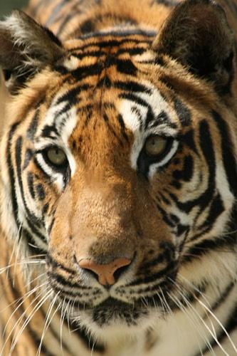Tiger by Scorpio74