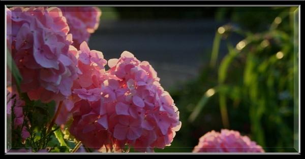 Pink Hydrangea by patsy88