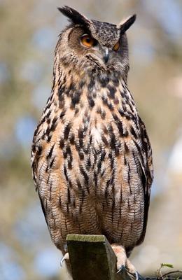 Nice owl by Mrd06