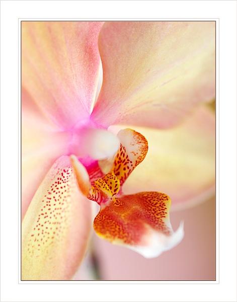 Orchid by Ewan