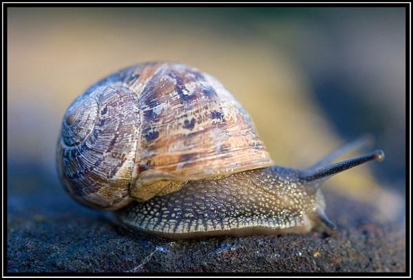 Garden Snail by ronr