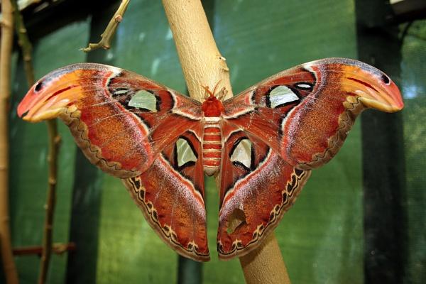 Atlas Moth by Peter_Farrell