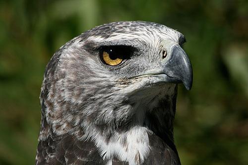 Eagle Eye! by corkonian