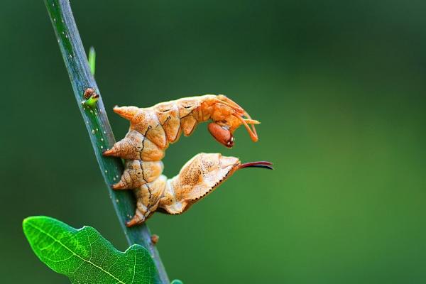 Lobster Moth Larva by Julian