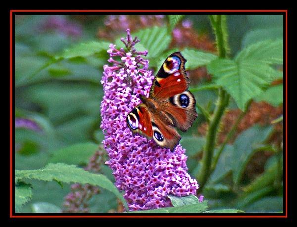 Peacock Butterfly by Lorraine