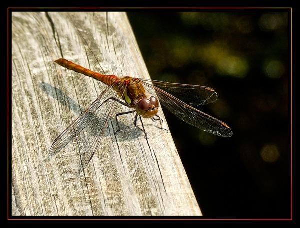 Dragonfly by Lorraine