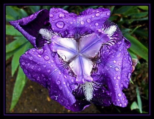Iris by Lorraine