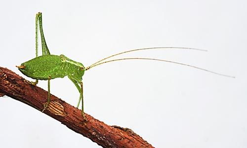 Bush Cricket by Trev_p