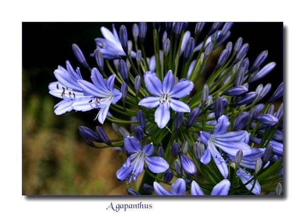 Treasured Blue by Mavis