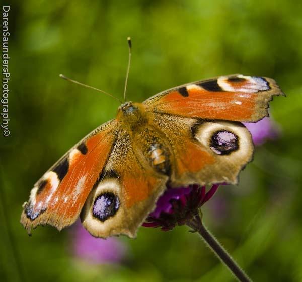 peacock butterfly by dazloz