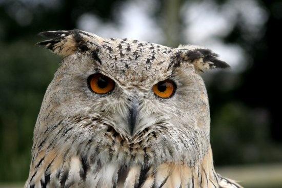 SIBERIAN OWL by Sadle