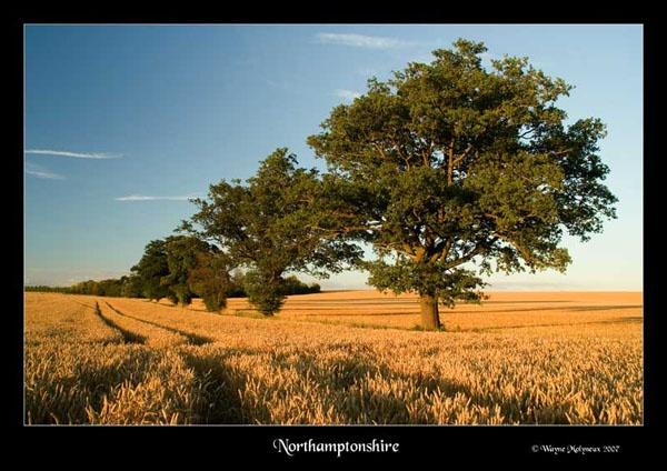 Cornfield by waymol