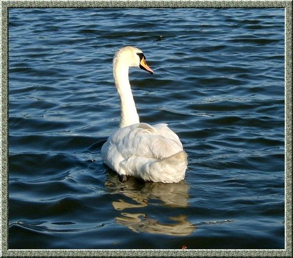 Swan by ssnowyc