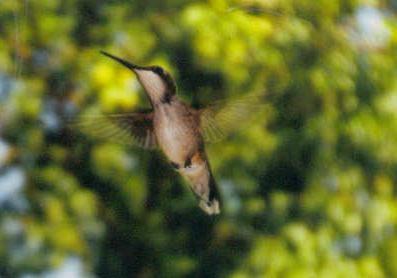hummingbird by dawnmichelle