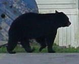 black bear by dawnmichelle