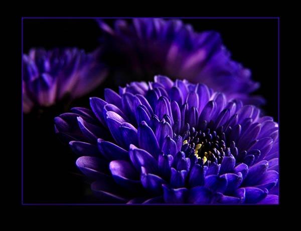 blue mums by mandarinkay
