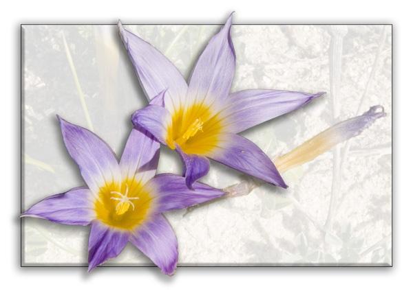 Violet Stars by ajhollingbery