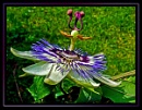 Passion Flower by Lorraine