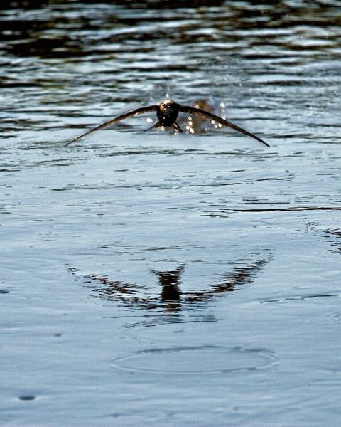 Swift drinking by flyking3