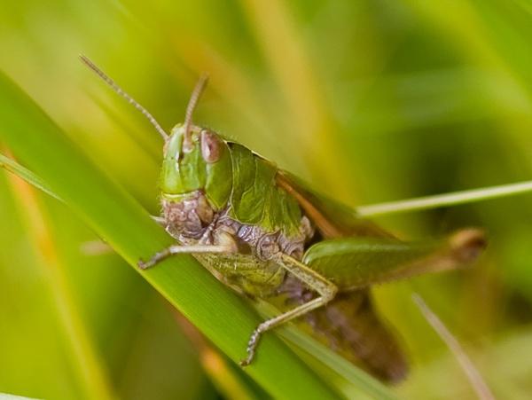 Grass Hopper by CraigF