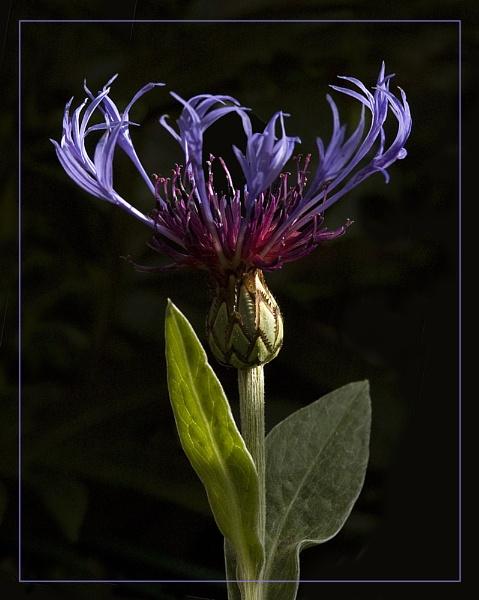 Centaurea Montana by SueWB