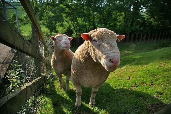 sheepish look by bobsungod