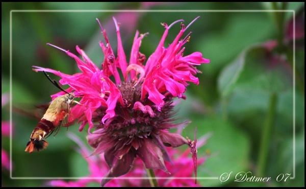 Hummingbird Hawkmoth by stevophoto