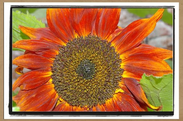 Sun flower by brayzo