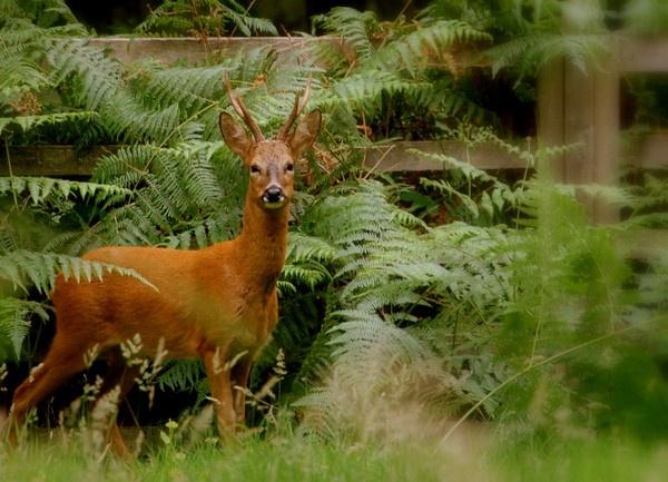 Roe Deer Buck by S_Boulding