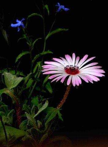 Mesembryanthemum by helenlinda