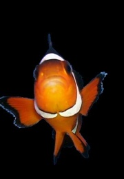 Nemo ( Clown Fish )