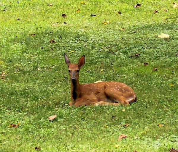 baby deer by dawnmichelle