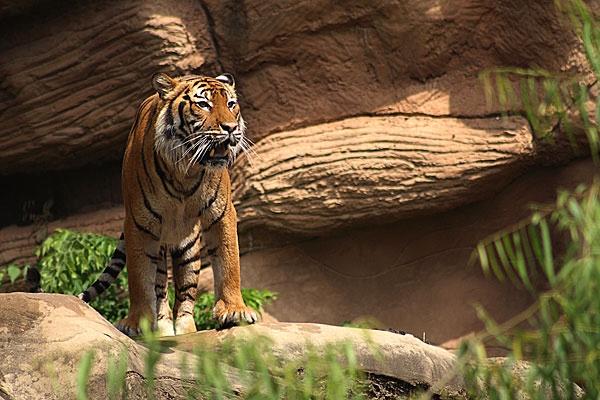 Tiger by sm4344