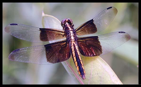 Farm dragonfly by lilhunter31