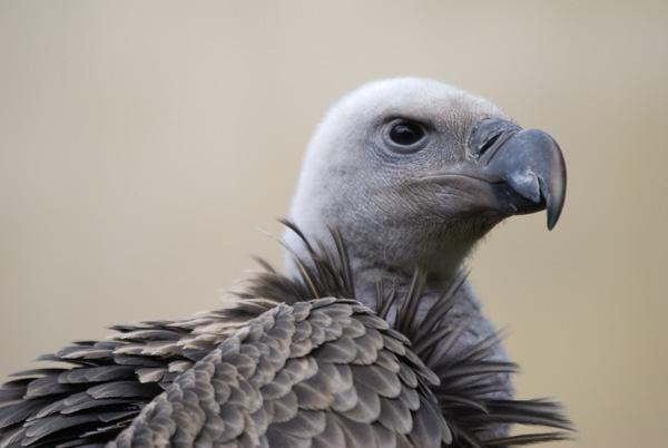 Vulture by sferguk