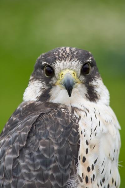 Bird of Prey by NeilJD