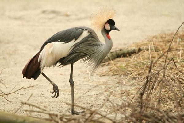 Grey Crowned Crane by paulvo