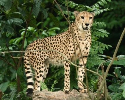 Cheetah by paulvo