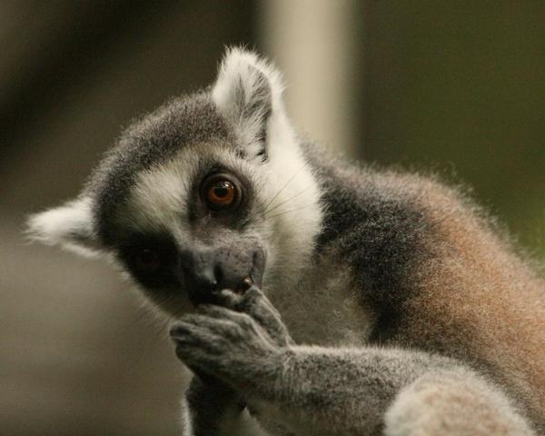 Ring-tailed lemur by paulvo