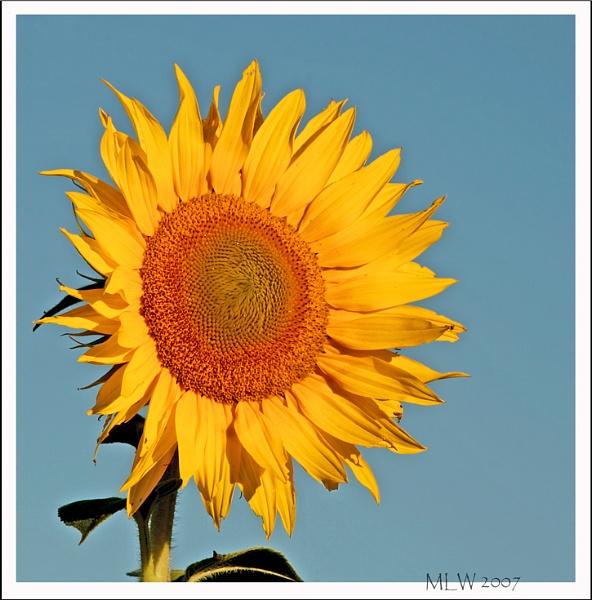 The Sunflower by mommy2cutekids