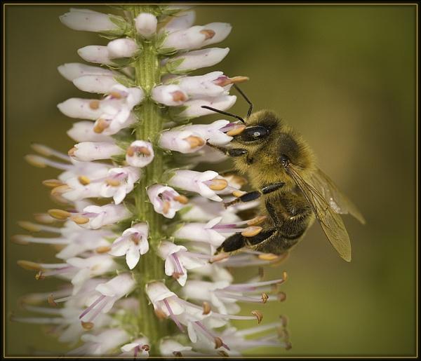 Honey Bee by SueWB
