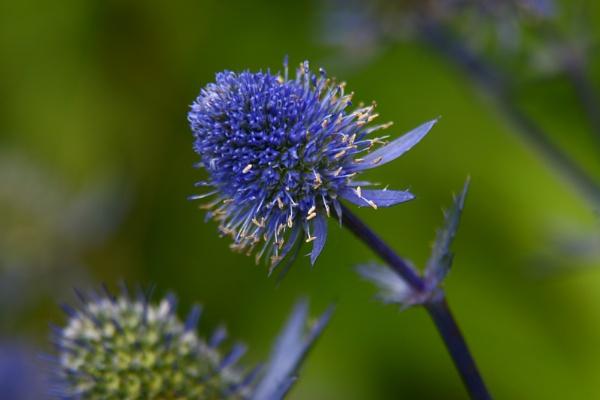 Spikey Blue by hughscott
