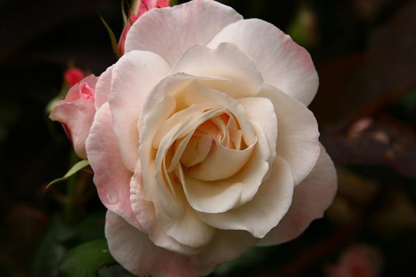 Rose by hughscott