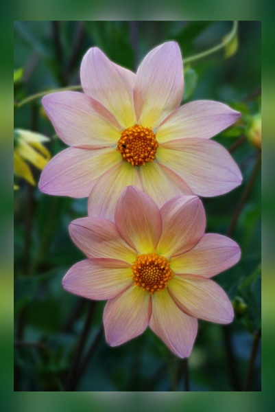 Dahlias by stevebidmead