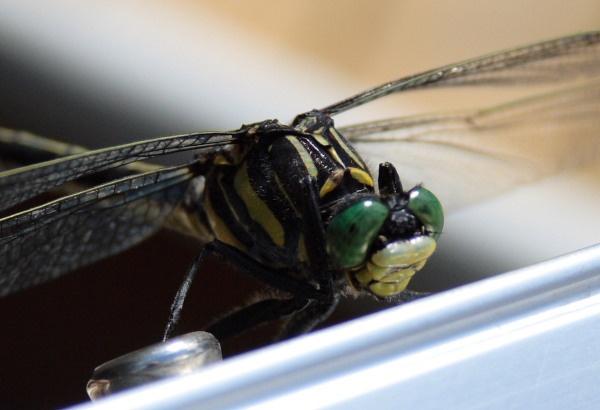 Dragonfly by ck_canada
